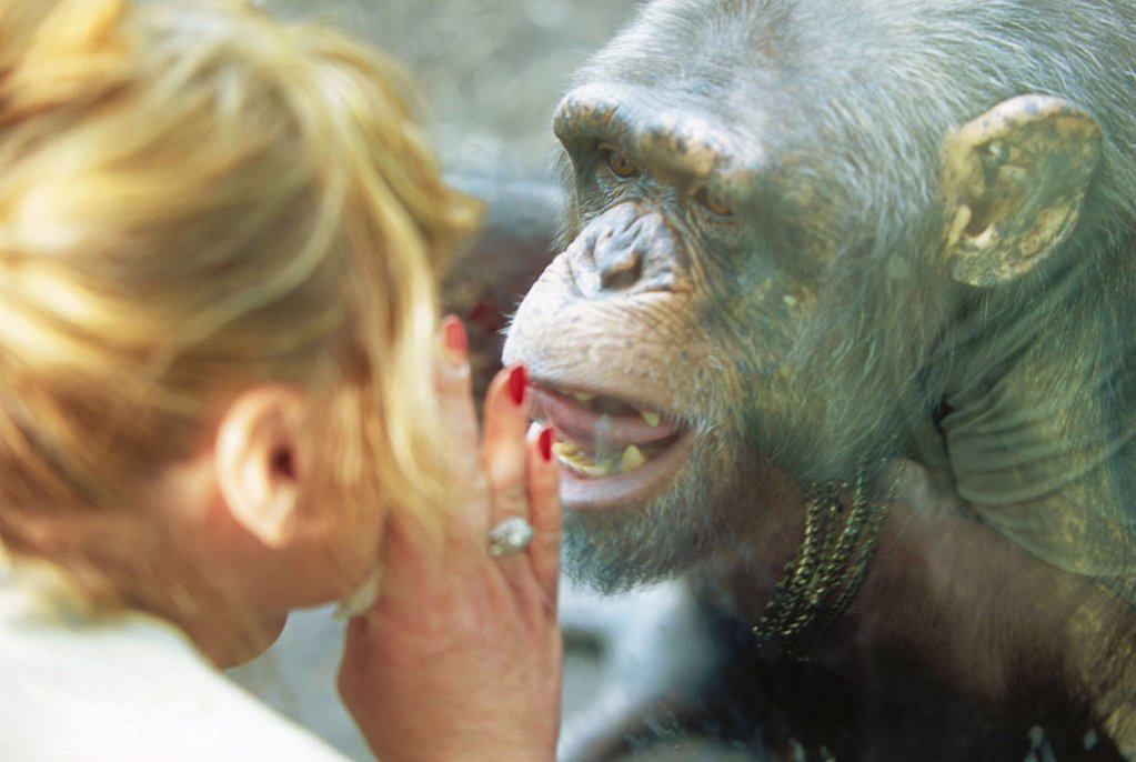 Stock Photo: 1558-64683 Zoo, monkey enclosures,  woman,  Chimpanzee, gaze contact,  Enclosures, windshield, animal, mammal, ape, pan troglodytes, whispers, speaks, grimace, expression, communication, concept, descent, similarities, behavior, behavior, identification, image, oppo