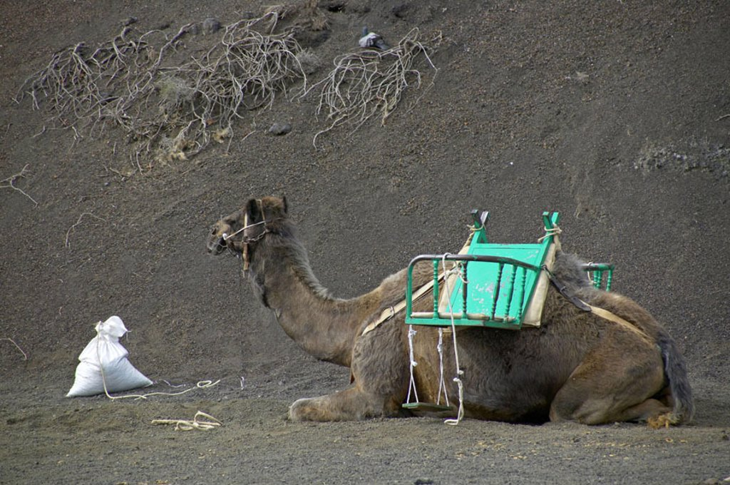 Spain, Lanzarote, Nationalpark Saddled Timanfaya, camel, lie, Sand Canaries, Canaries island, island, Montana´s Del Fuego, Fire mountains, reservation, dromedary, Reitkamel,  Load animal, ed, waiting, Kamelreiten, trip, adventure vacation, experience, adv : Stock Photo