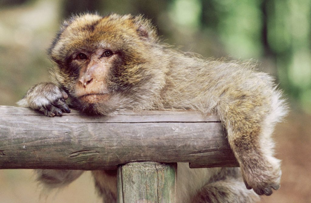 Berber monkey, Macaca sylvanus,  Wood posts, dozes, portrait  Animal portrait, animal, mammal, primates, monkey, macaques, Magot, Makakenaffe, wearily, sleepily, resting, head, hang up : Stock Photo