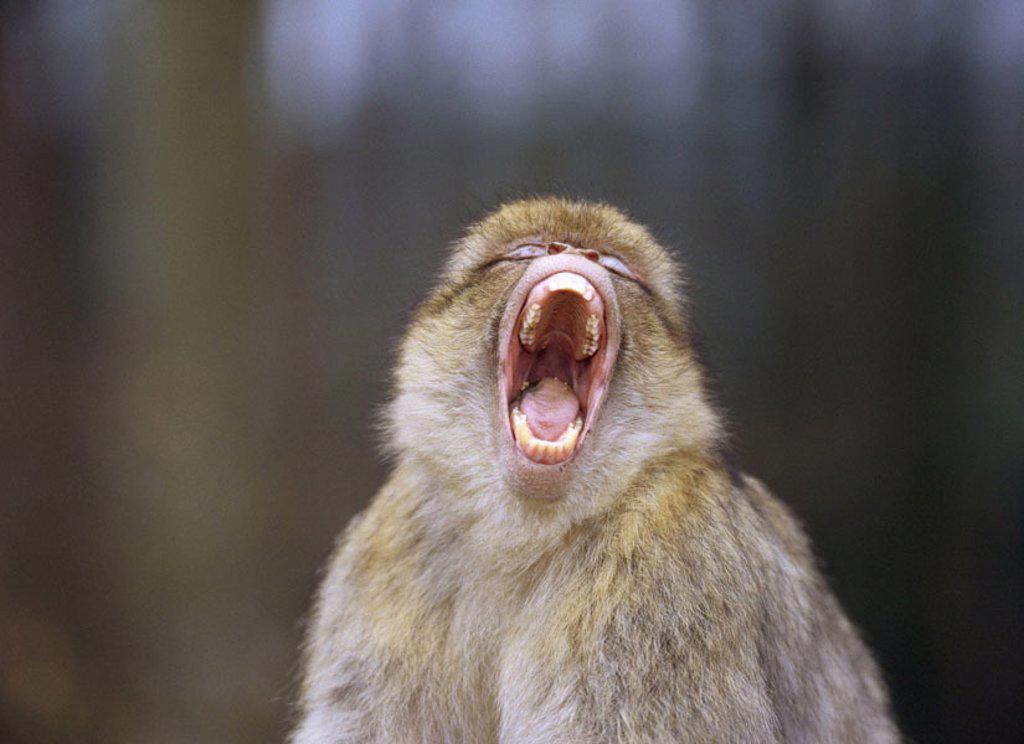 Berber monkey, Macaca sylvana, yawning, Detail  Wildlife, wilderness, Wildlife, animal, mammal, primates, Primates, Altweltaffen, Meerkatzenartige, monkey, Magot,  Magots, Barbary apes, mouth, frankly, teeth, denture, Tiredness : Stock Photo