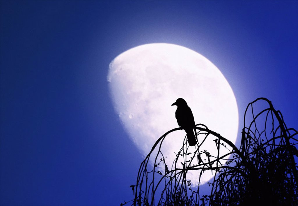 Treetop, bald, crow, silhouette,  Moon  [M]  Tree, detail, deciduous tree, branches, branches, treetops, animal, bird, crow bird, raven, heaven, cloudless, blue, night, concept, mystically, immensely, dim, horrifying, superstition, mood : Stock Photo