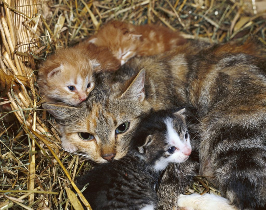 Stock Photo: 1558-68072 Hay, cats, Kätzin, young,  snuggles up  Animals, mammals, pets, house cats, four, lie, cat mother, females, cat babies, kittens, pussy, peacefully, sleeping, dozes, lie, resting, together, together-cuddles, truncated, indoors, concept, tiredness, solidari
