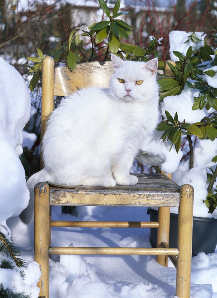 Garden, chair, cat, white, sitting, Winters  Animals, mammals, pet, house cat, European short hair, free-living, observing, alertly, strictly, seriously, confidently, snow, outside, concept view Freigänger, interest, freedom, cold, wintertime, season, : Stock Photo