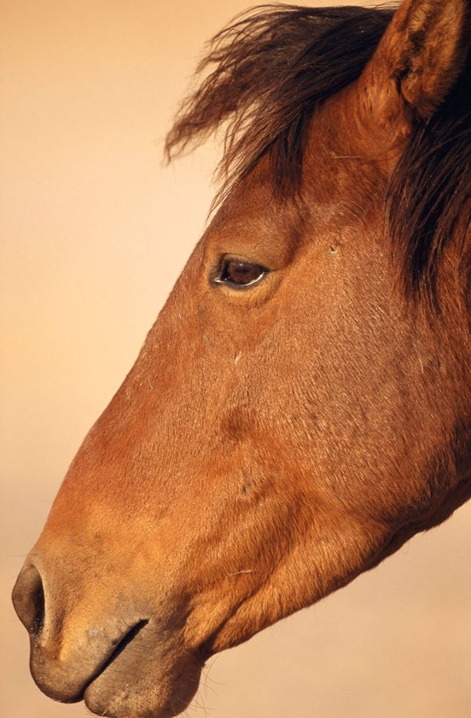 Stock Photo: 1558-72286 Africa, Namibia mustang, profile   Namibia, animals, wild animals, mammals, Un, horses, house horses, neglected, mustang, brown, wild, portrait, on the side, truncated, Wildlife, wildlife, concept, namibian mustang,