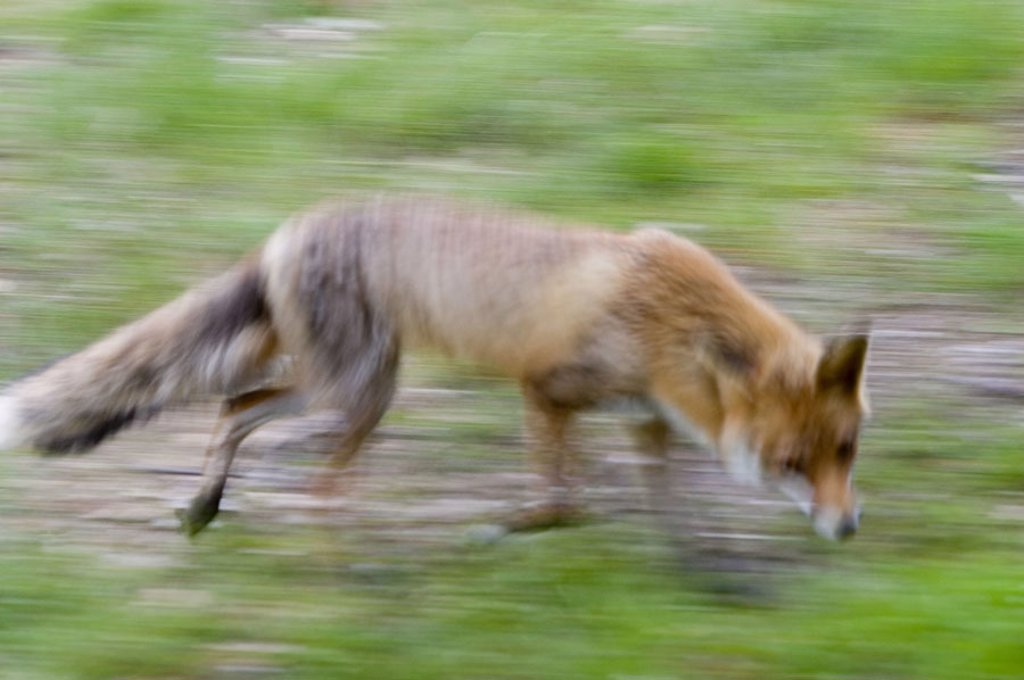 Rotfuchs, Vulpes vulpes,  Movement, expedition, fuzziness  Animal, wildlife, wild animal, mammal, at home, fox, carnivore, Canidae, running, hunt, track, trace search, caution, fear, blurs : Stock Photo