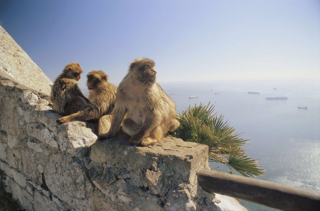 Stock Photo: 1558-77577 Gibraltar, Upper skirt Nature reserve,  Berber monkeys, Macaca sylvanus,  Europe, Iberian peninsula, law lime rocks, lime rocks, Englische Kronkolonie, nature preserve, animals, three, mammals, monkeys, macaques, Makakenaffen, Magot, background, street of