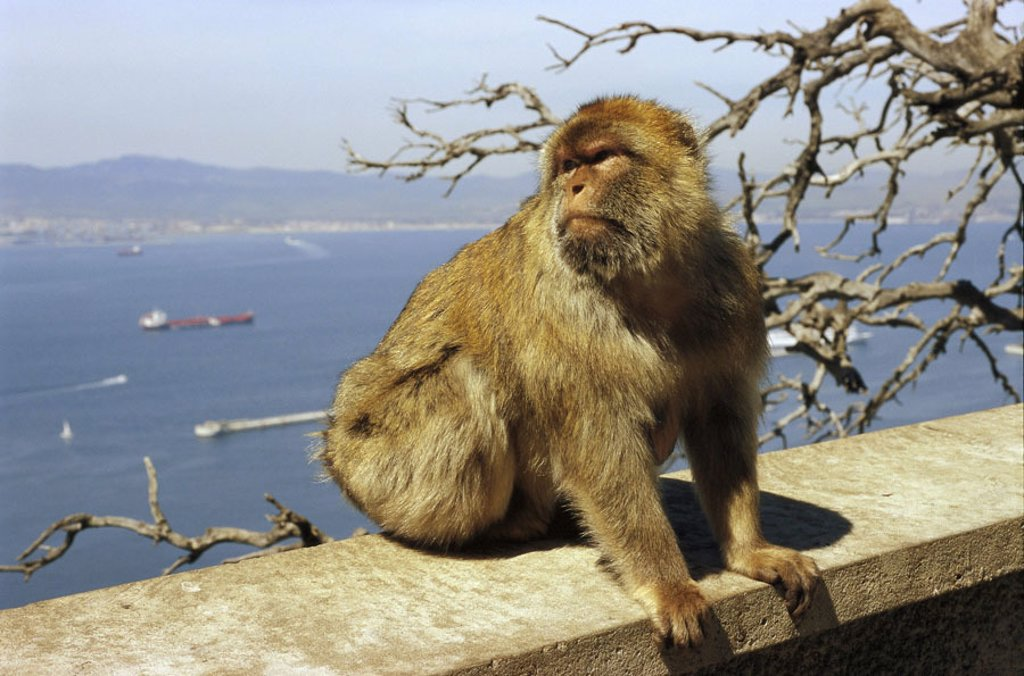 Gibraltar, Upper skirt Nature reserve,  Berber monkey, Macaca sylvanus,  Europe, Iberian peninsula, law lime rocks, lime rocks, Englische Kronkolonie, nature preserve, animal, mammal, monkey, Makake, Makakenaffe, Magot, background, street of Gibraltar, Me : Stock Photo