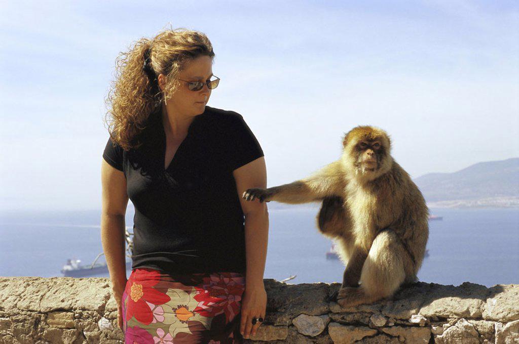 Gibraltar, Upper skirt Nature reserve,  Berber monkey, Macaca sylvanus, curious,  Woman, no models release! Europe, Iberian peninsula, law lime rocks, lime rocks, Englische Kronkolonie, nature preserve, animal, mammal, monkey, Makake, Makakenaffe, Magot, : Stock Photo