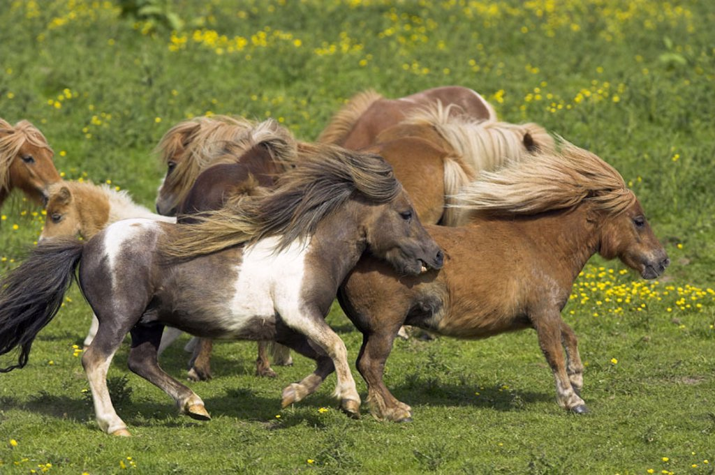 Meadow, herd, Shetland ponies, running   Nature, pasture, animals, mammals, Un, farm animals, mounts, horses, horse race, small horses, Shetlandponys, herd animals, instinct, outside, summer : Stock Photo