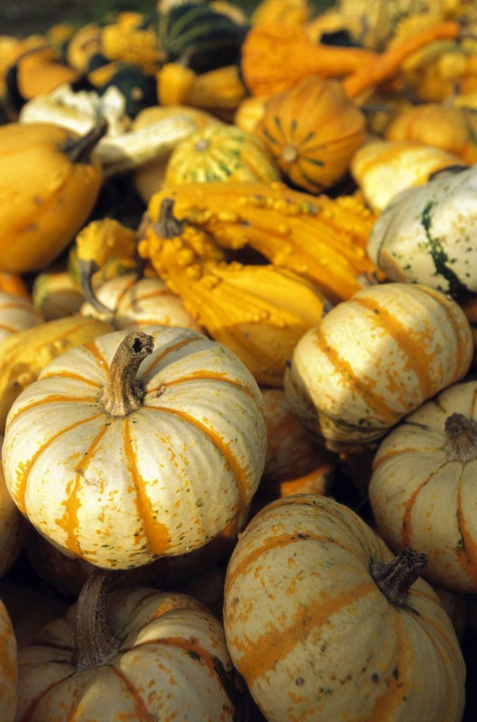 Ornament winter squashes, many, different,  Detail,   Vegetables, winter squashes, ornament, decoration, harvest, thanksgiving, patterns forms colors, variety, nature forms, Background, : Stock Photo
