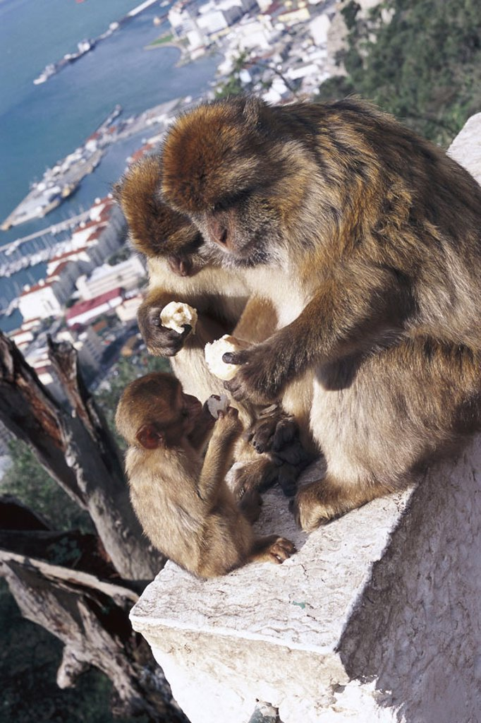 Gibraltar, Upper skirt Nature reserve,  Berber monkeys, Macaca sylvanus, eat,   Europe, Iberian peninsula, law lime rocks, lime rocks, Englische Kronkolonie, harbor, outlook, nature preserve, animals, three, family, animal family, mammals, monkeys, macaqu : Stock Photo