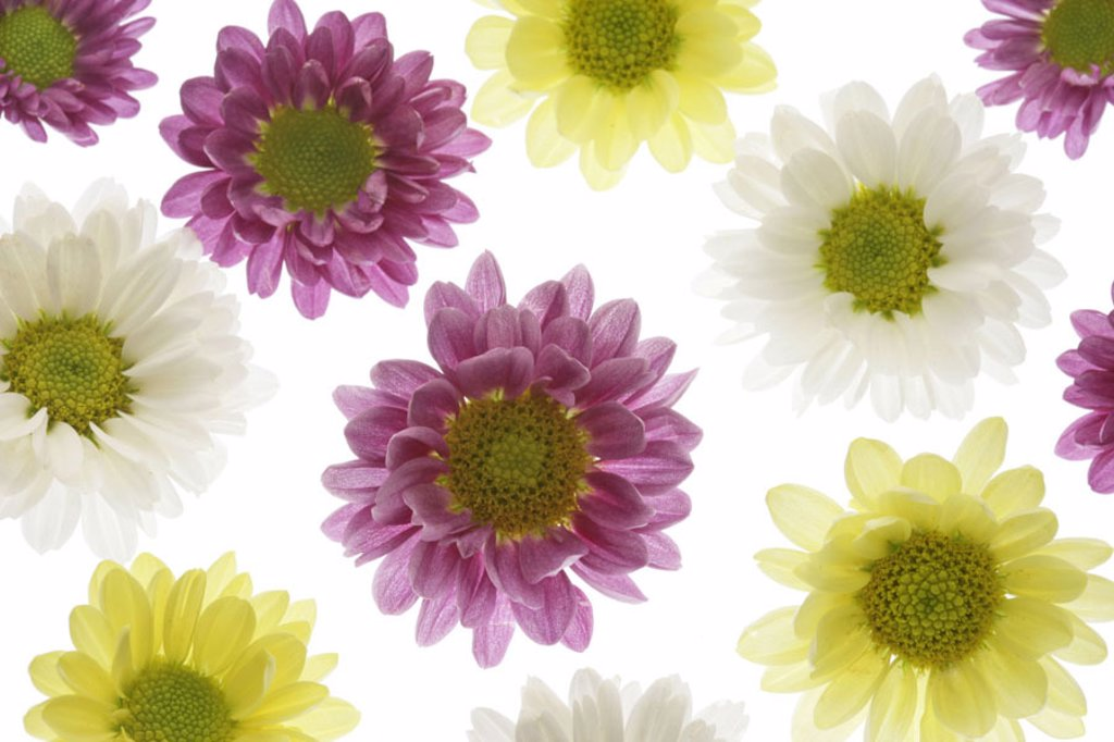 Stock Photo: 1558-86032 Chrysanthemums, blooms, white, yellow, magenta,  Detail,   Series, flowers, Chrysanthemum indicum, chrysanthemums, composites, ornament flowers, autumn flowers, petals, multiplicity, bloom splendor, flower arrangement, quietly life, fact reception, free p