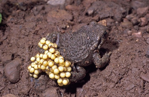 Obstetrician toad, Alytes obstetricans,  male, Laichschnur,   Nature, fauna, animal, amphibians, toad, bell frog, hind legs, eggs, Eipaket, increase, reproduction, earth, mud, brown, : Stock Photo
