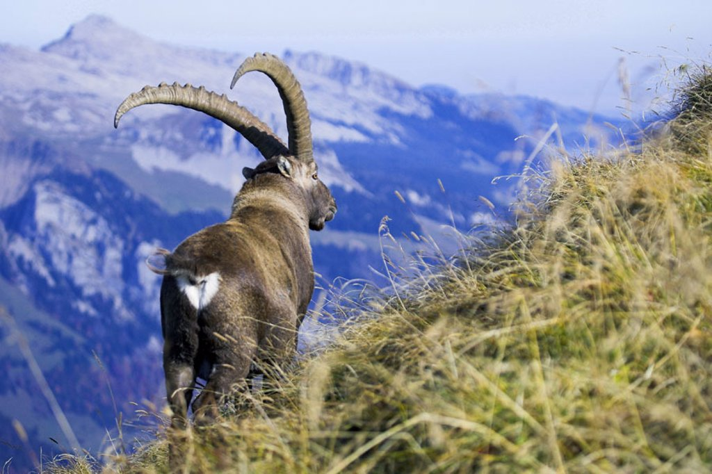 Stock Photo: 1558-92383 Mountains, alpine ibex, Capra ibex ibex, view from behind,   Series, wildlife, Wildlife, animal, mammal, , horn bearers, ibex, Capra of hircus ibex, male, attention, concept, strength, strength, pride, freedom,