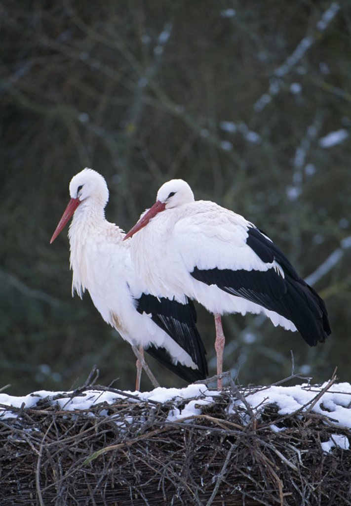 Stock Photo: 1558-95639 Weißstörche, Ciconia ciconia, nest, snow, in pairs,