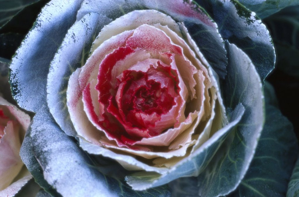 Ornament cabbage, close-up,    Plant, leaf vegetables, cabbage, Brassica oleracea var. acephala, feather cabbage, breeding form, ornamental plant, bloom, ornament, Deko, fact reception, : Stock Photo
