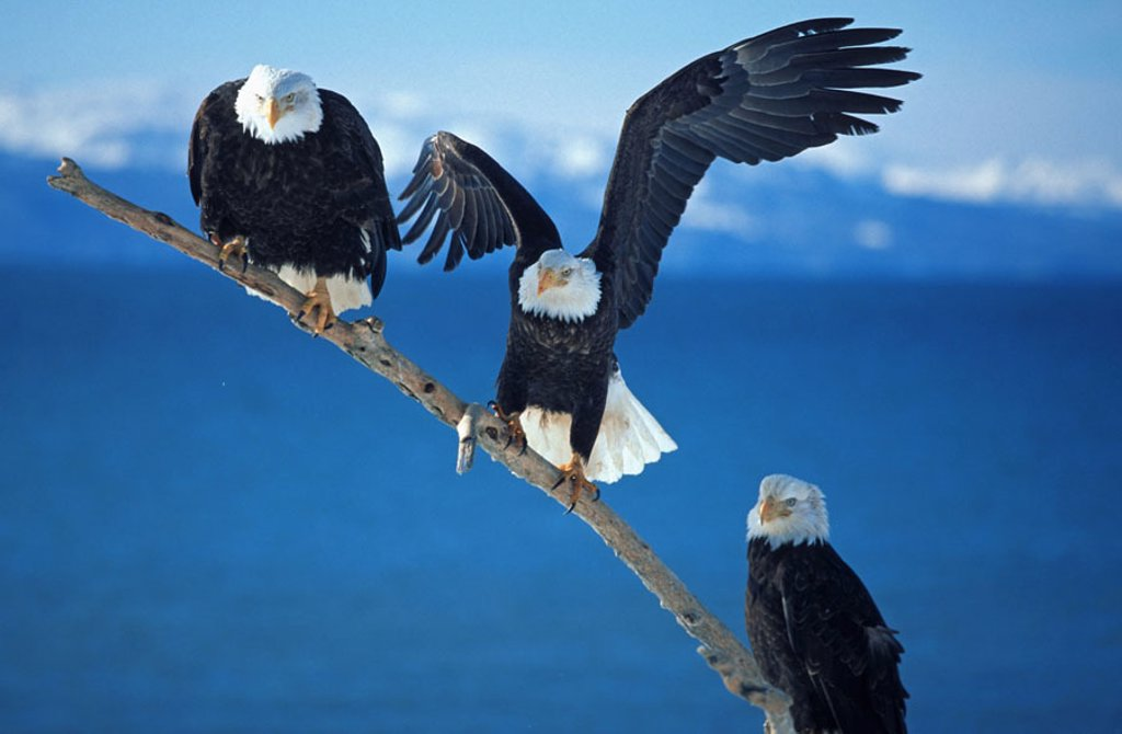 Stock Photo: 1558-99573 Know head marine eagles, Haliaeetus leucocephalus,  three, branch, sit,   USA, Alaska, Homer, Kachemak bay, wildlife, animals, birds, eagles, wild animals, Wildlife, gripping birds, predatory birds, coat of arms animal, national bird, marine eagles, sees,