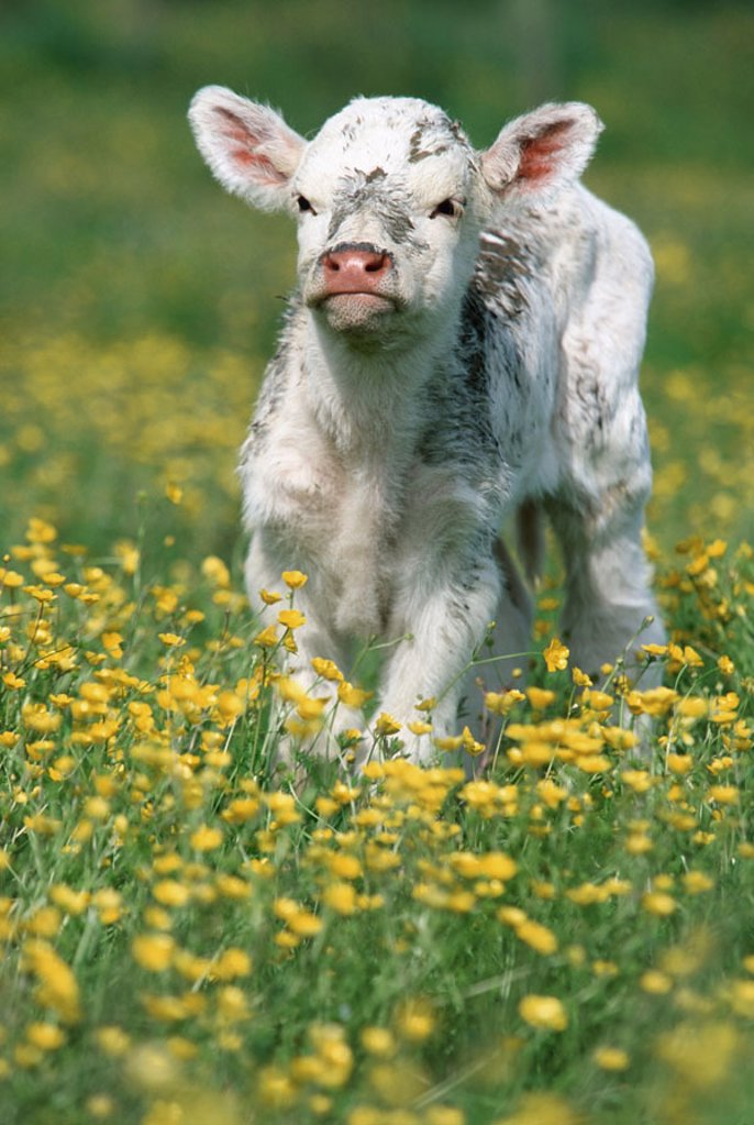 Calf, Blumenwiese,    Animal, mammal, usefulness animal, livestock, cow, house cow, cow, young, Kuhkalb, little calf, white, dirty, cutely, freely, animal children, freedom, pasture, meadow, flowers, stand, gaze camera, : Stock Photo