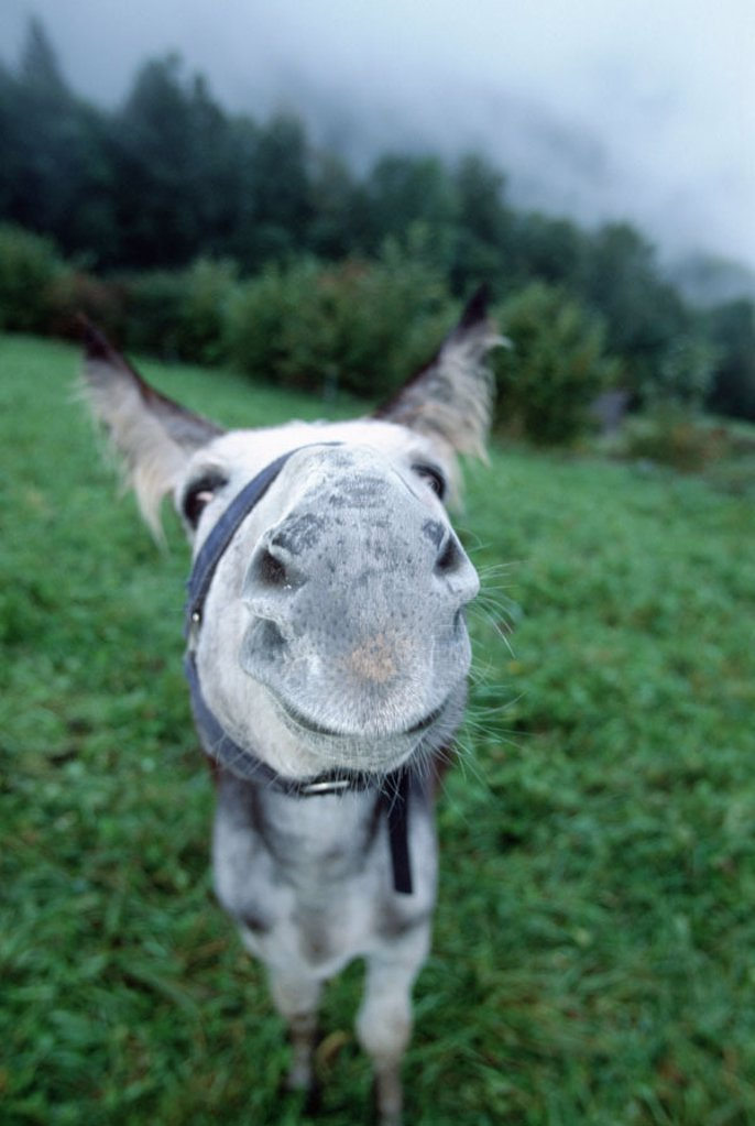 Stock Photo: 1558-99612 Meadow, donkeys, white, gaze camera,  Close-up,   Animal, mammal, usefulness animal, load animal, mount, pasture, detail, head, halters, nose, nostrils, curiosity, interest, behavior, smells, sniffs, approach, wide-angle reception,
