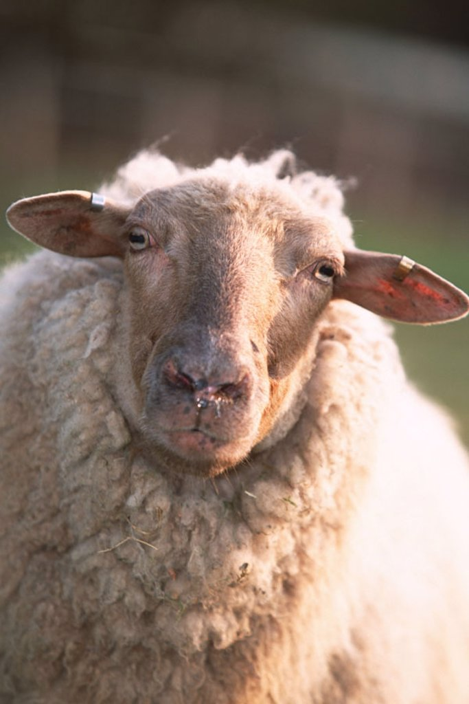 Stock Photo: 1558-99619 Coburger fox sheep, portrait,    Animal, mammal, usefulness animal, livestock, sheep, female, fur, white, head, animal portrait, animal husbandry, appropriate to the species, cattle-breeding, livestock farming, house sheep, sheep race, gaze camera, outsid
