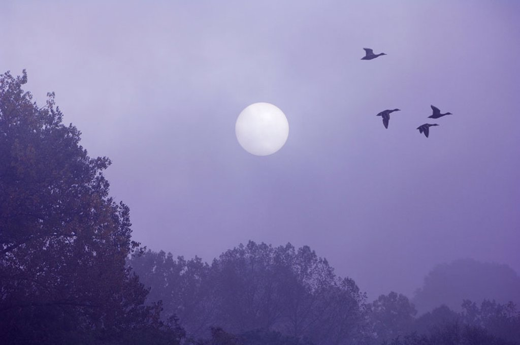 Forest, sun, silhouette, mallards,  Anas platyrhynchos, flight, fogs,  [M],  Trees, shrubs, animals, ducks, time of day, fly sunrise, morning mood mist morning fogs symbol mystically, mysteriously, silence, silence, mood, : Stock Photo