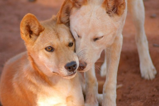 Close-up of two dingoes, Australia : Stock Photo