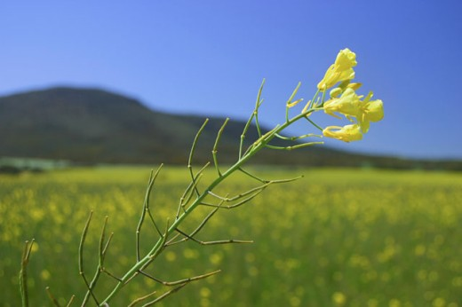 Close-up of a canola plant, Eyre Peninsula, Australia : Stock Photo