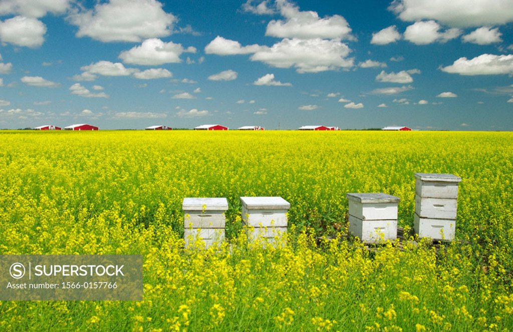 Stock Photo: 1566-0157766 Canola field and bee hives in Southern Manitoba. Canada