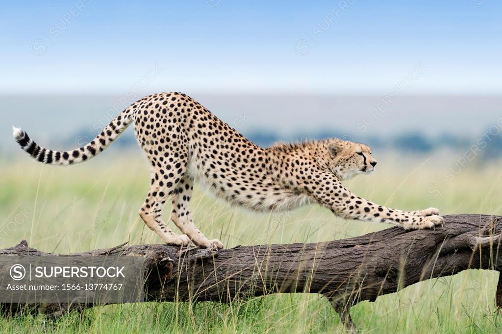 Stock Photo: 1566-13774767 Cheetah (Acinonix jubatus) stretching on fallen tree, Maasai Mara National Reserve, Kenya.