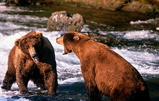 Stock Photo: 1566-0100507 Brown bears (Ursus arctos). Katmai National Park, Alaska. USA