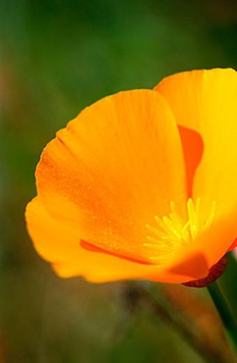California Poppy (Eschscholzia californica) : Stock Photo