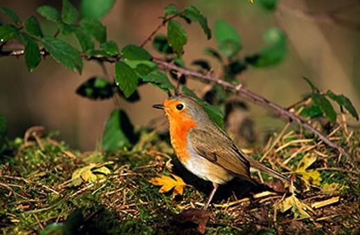 Stock Photo: 1566-0102670 European Robin (Erithacus rubecula)