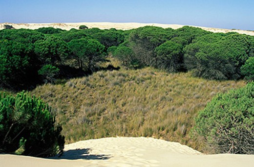 Stock Photo: 1566-0102856 ´Dunas móviles´ (moving dunes) and ´corrales´ (groups of pine trees surrounded by dunes). Doñana National Park. Huelva province,  Spain