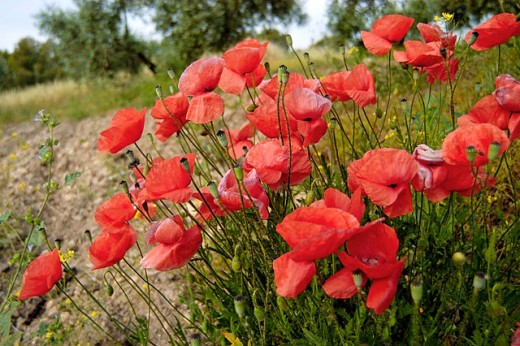 Common Poppy (Papaver rhoeas) growing in olive grove. Andalucía, Spain : Stock Photo