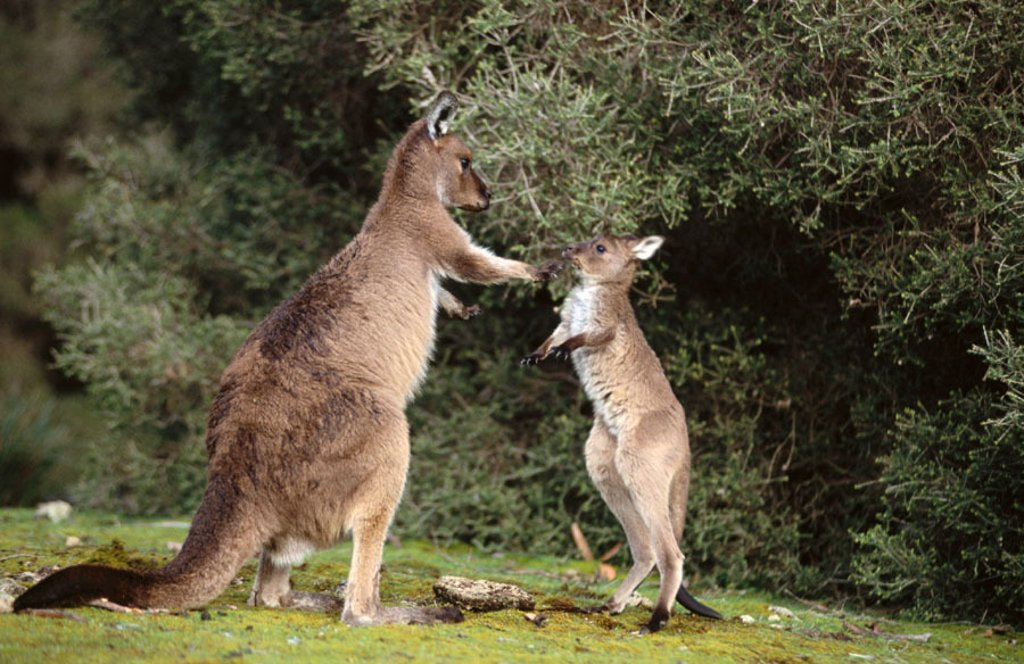 Stock Photo: 1566-0102953 Western Grey Kangaroos (Macropus fuliginosus), mother and joey