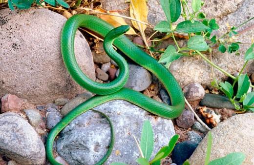 Stock Photo: 1566-0103196 Smooth Green Snake (Opheodrys vernalis)