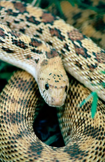 Gopher Snake (Pituophis melanoleucus) : Stock Photo