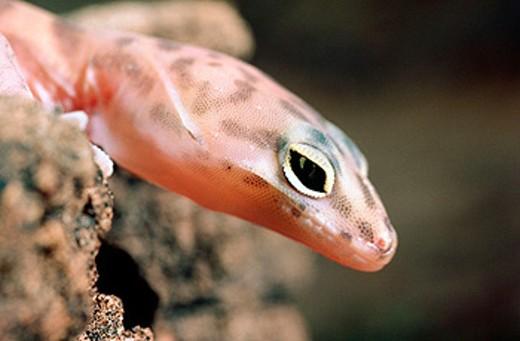 Banded Gecko (Coleonyx variegatus) : Stock Photo