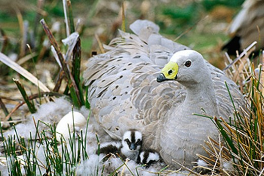 Cape Barren Geese (Cereopsis novaehollandiae). Tasmania. Australia : Stock Photo
