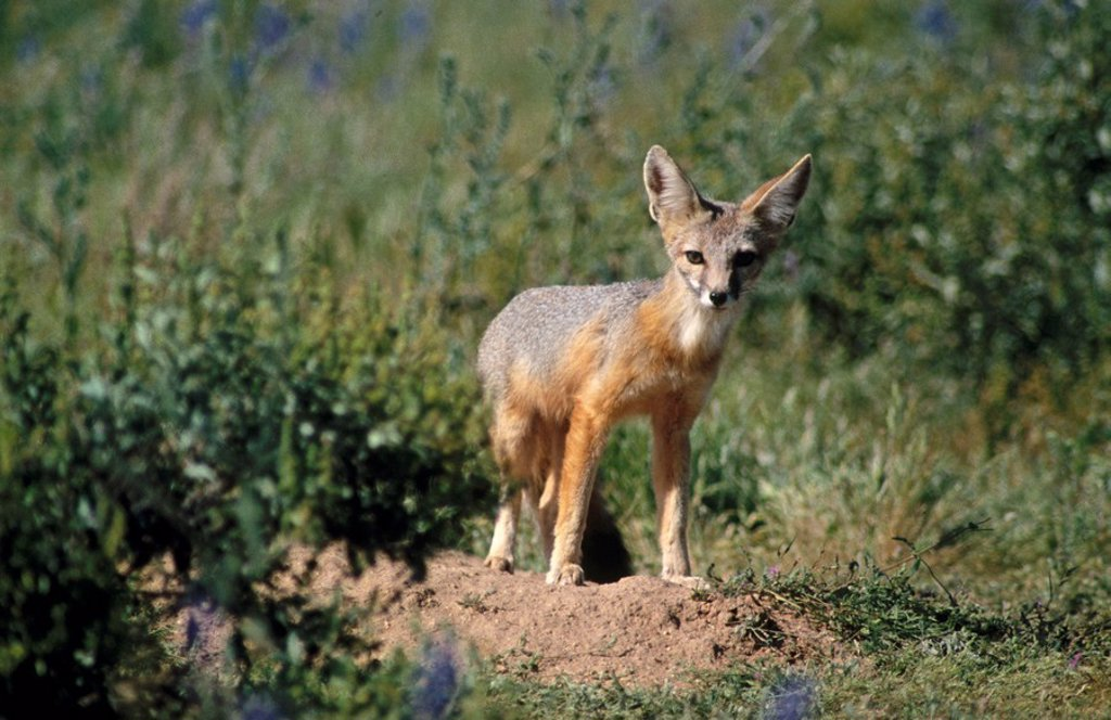 Stock Photo: 1566-0103553 Kit Fox (Vulpes macrotis). Sonoran Desert. Arizona. USA