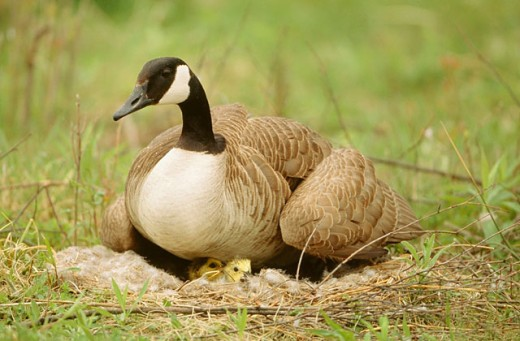 Canada geese (Branta canadensis) on nest. New York. USA : Stock Photo