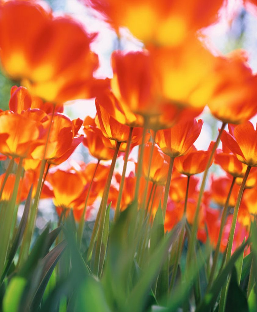 Stock Photo: 1566-0104132 Tulips