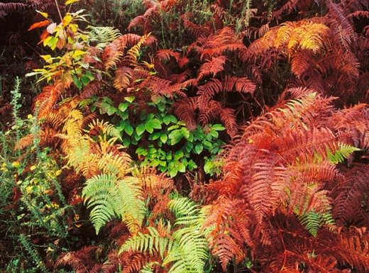 Ferns and chesnut trees : Stock Photo