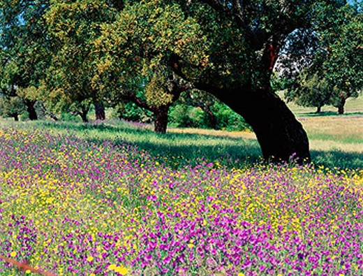 Cork oaks and wild flowers in Monfrague Natural Park. Caceres province. Extremadura, Spain : Stock Photo