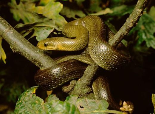 Aesculapian Snake (Elaphe longissima) : Stock Photo