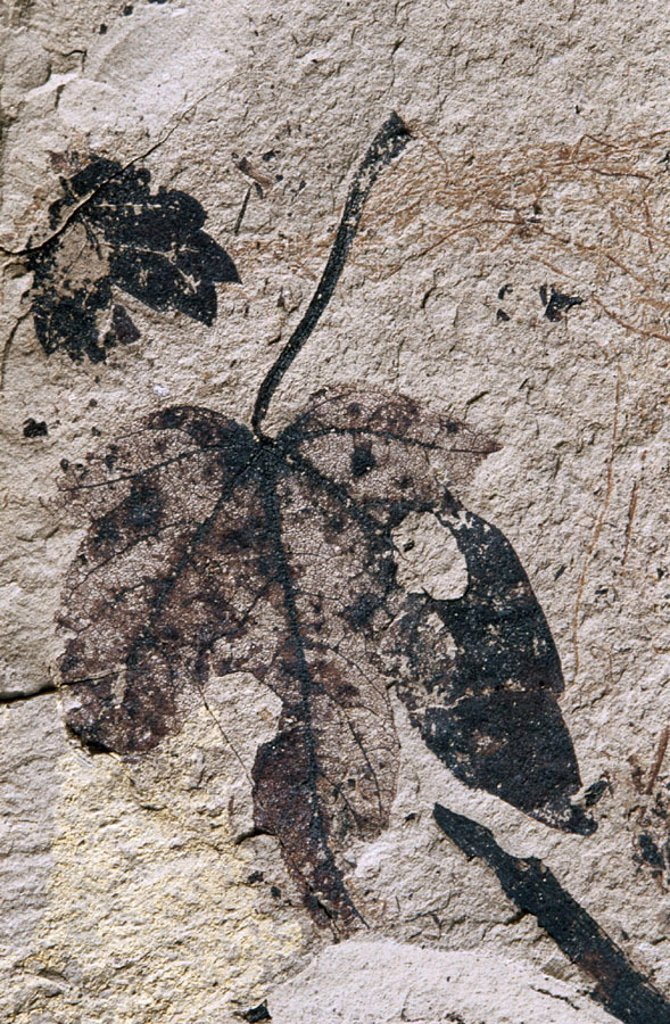 Fossil plant, Acer vindobonensis : Stock Photo