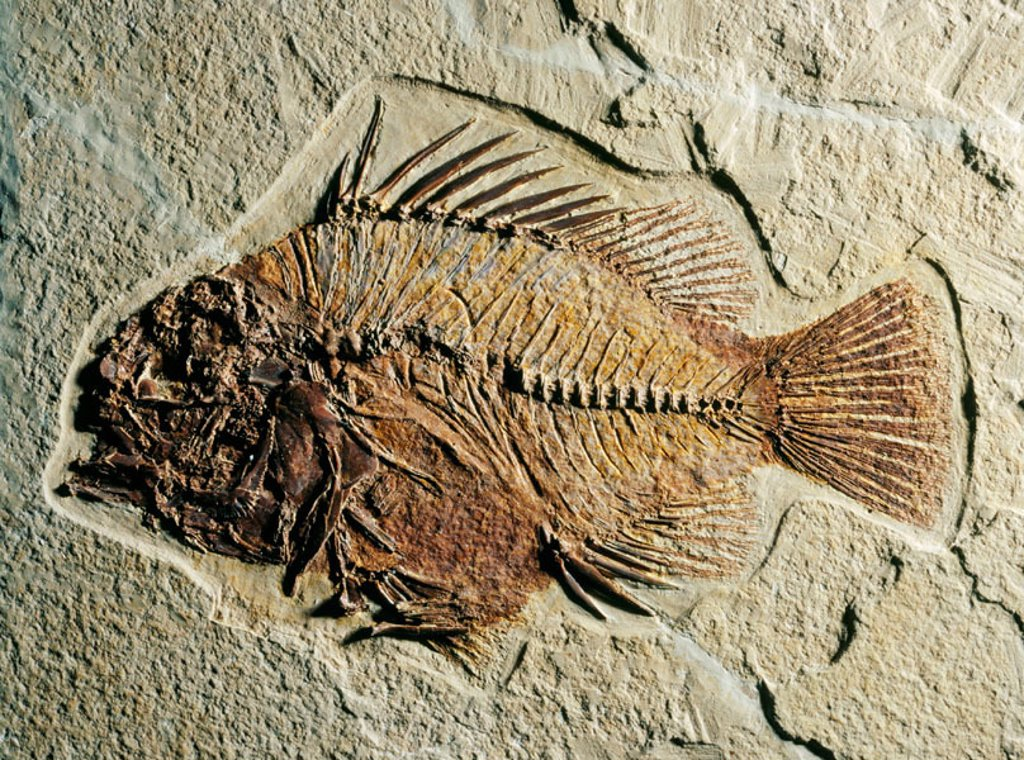 Stock Photo: 1566-0109992 Fossil fish (Priscacara sp.). Eocene. Wyoming. USA