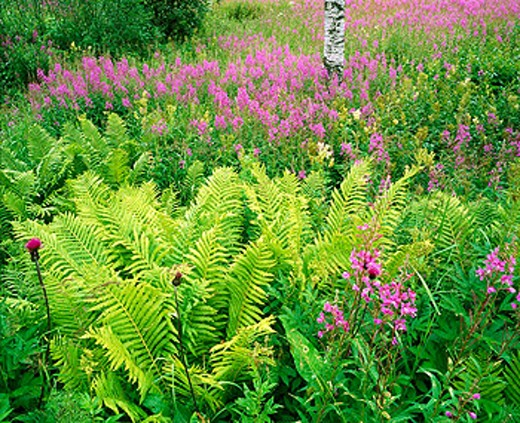 Stock Photo: 1566-0110147 Fireweed (Epilobium angustifolium) and Ferns. Tromso. Norway