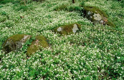 White fringed phacelia (Phacelia fimbriata). Great Smoky Mountains National Park. Tennessee. USA : Stock Photo