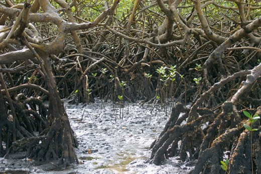 Mangrove, a threatened ecosystem struggling to survive. Caixa-Prego. Bahia. Brazil : Stock Photo